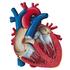 Cardiac-Thoracic-Vascular-Surgery